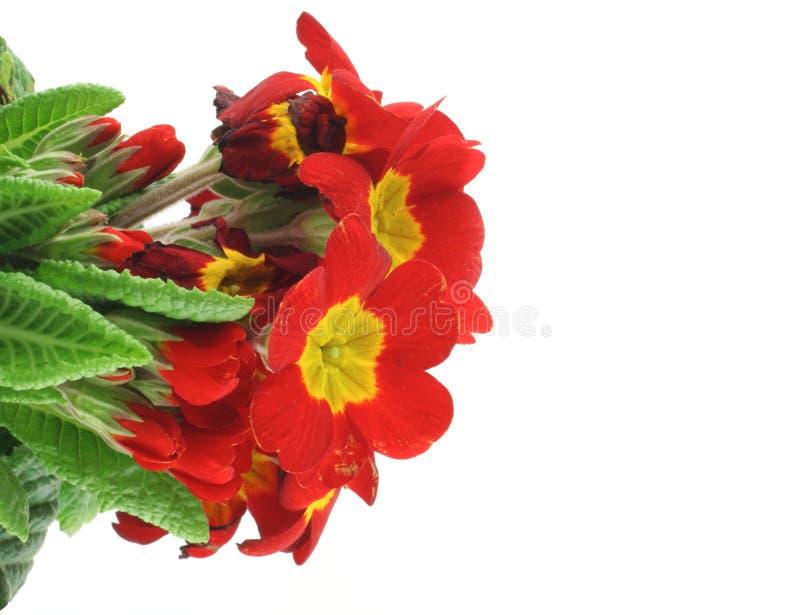 Schöne klare Blumen auf weißem Hintergrund lizenzfreies stockbild