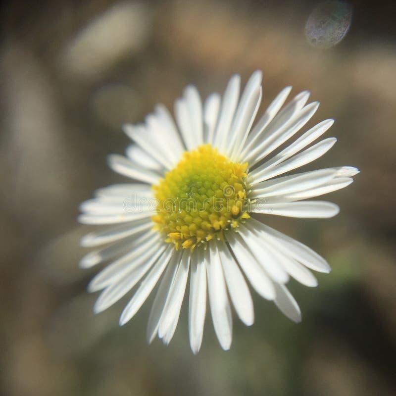 Schöne kleine Blume des Frühlinges lizenzfreies stockfoto