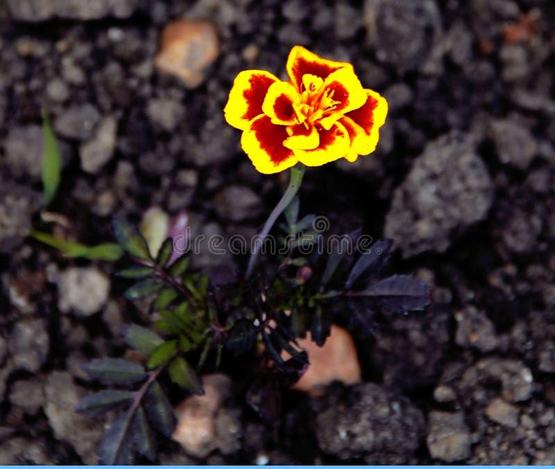 Schöne kleine gelbe Blumen auf dem Blumenbeet lizenzfreie stockbilder