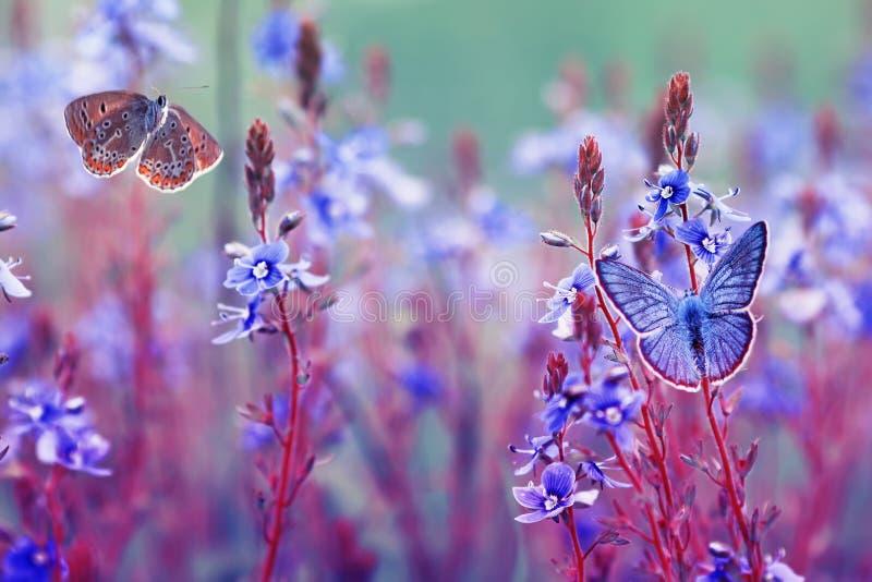 Schöne kleine golubyanka Ikarus-Schmetterlinge sitzen und flattern in einer hellen Wiese auf leichten blauen und lila Blumen auf  lizenzfreie stockfotos