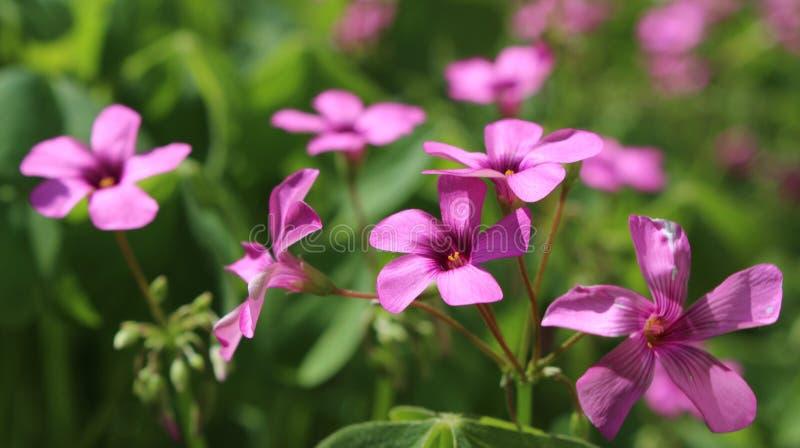Schöne kleine purpurrote Blumen in einem Petrich arbeiten im Garten stockbilder
