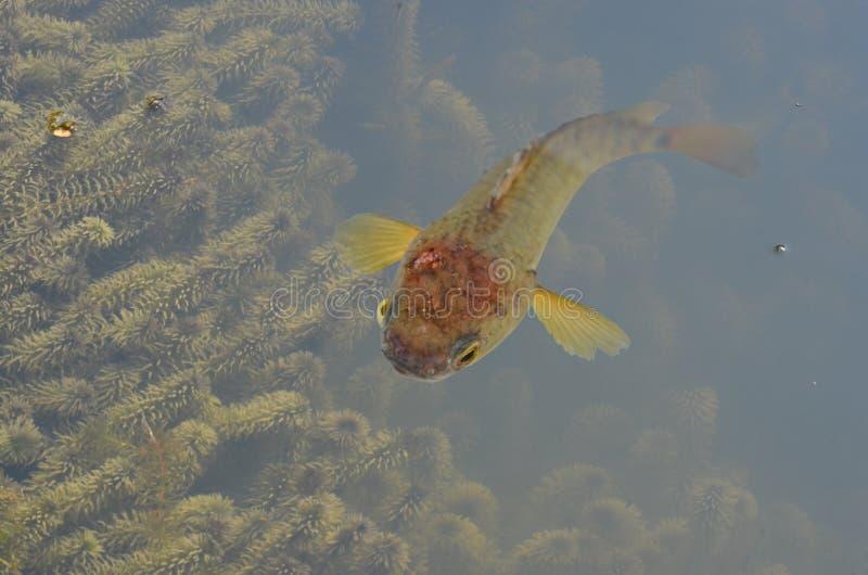 Schöne Kletterfischfische im klaren Wasser mit Algen stockfoto