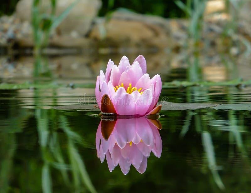 Schöne Knospe einer rosa Seerose- oder Lotosblume Marliacea Rosea glüht mit einer klaren Reflexion im schwarzen wate stockfotos
