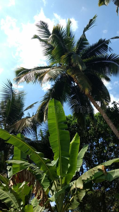 Schöne Kokosnussbäume lizenzfreie stockfotos