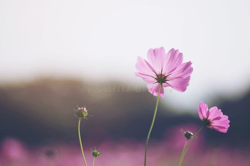 Schöne Kosmosblumen, die im Garten blühen stockfoto