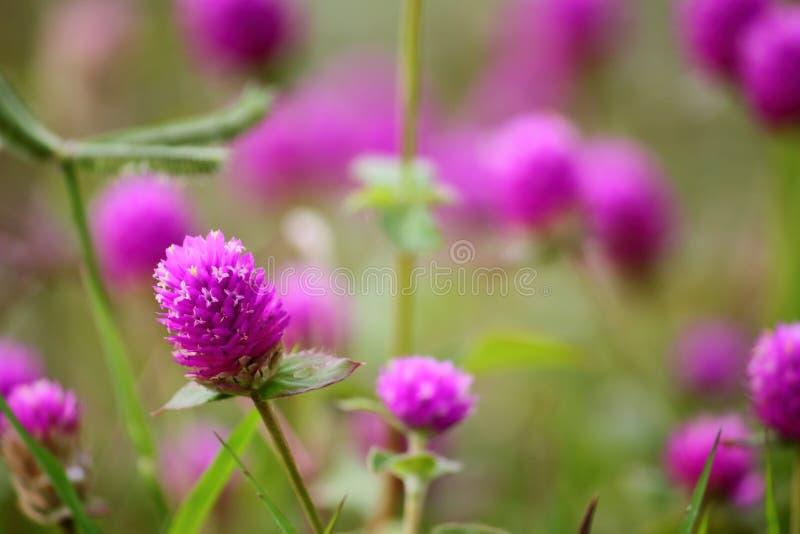 Schöne Kugelamarantblume frisch in der Natur stockfotos