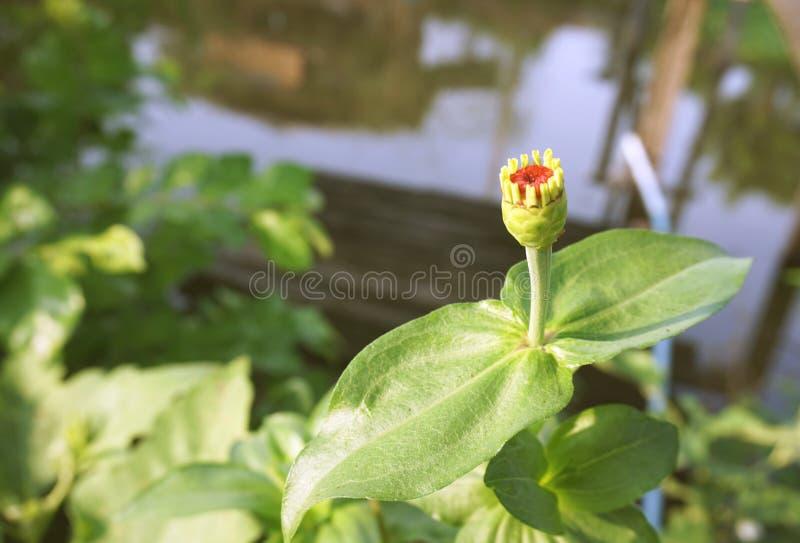 Schöne Kugelamarantblume im Garten lizenzfreies stockbild