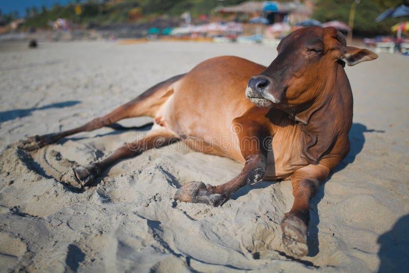Schöne Kuh auf Vagator-Strand stockfoto