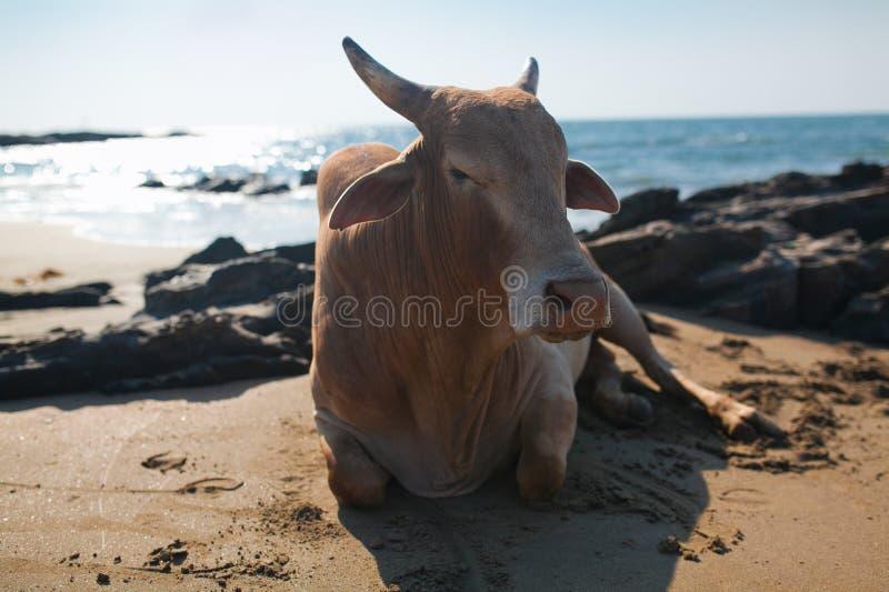 Schöne Kuh auf Vagator-Strand lizenzfreies stockbild
