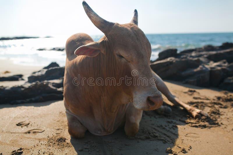 Schöne Kuh auf Vagator-Strand lizenzfreies stockfoto
