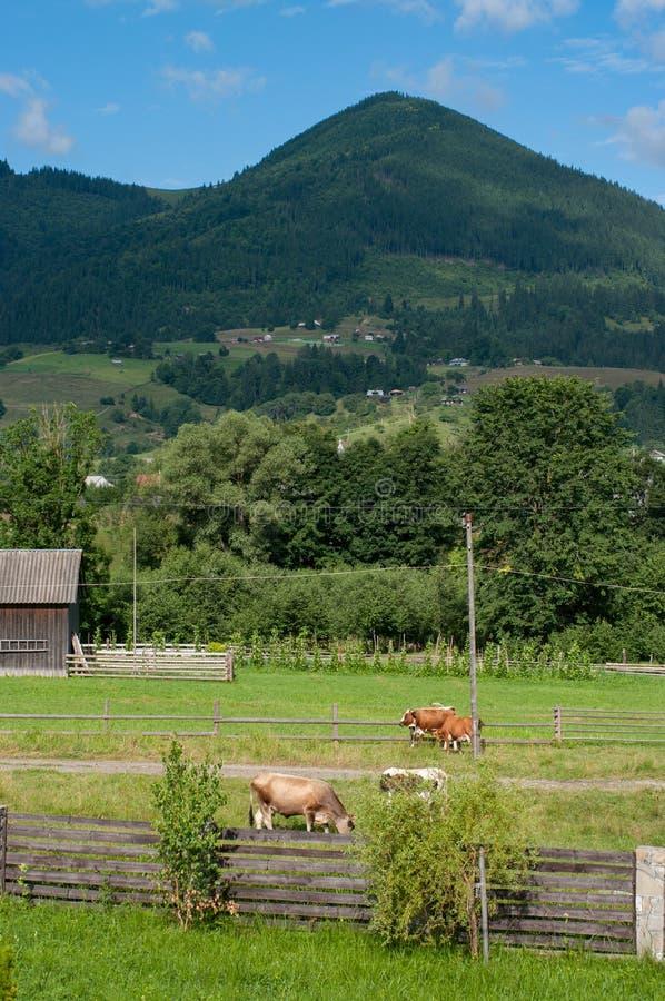 Schöne ländliche Berglandschaft mit Kühen und Zaun stockbild