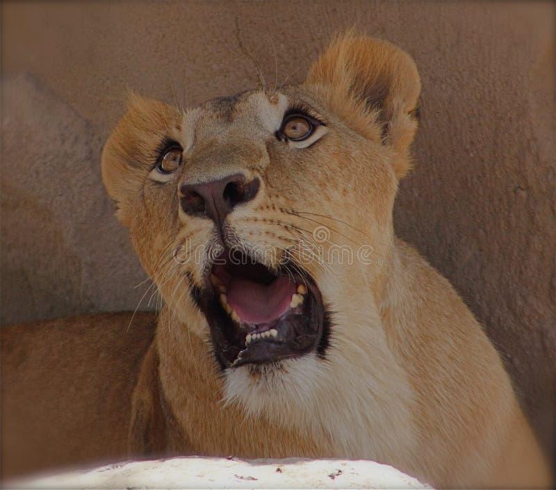 Schöne Löwin stockbild