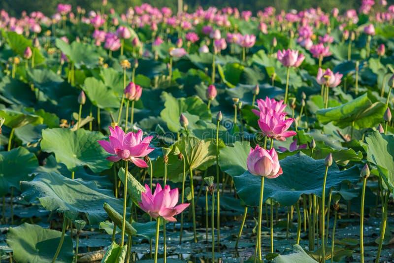 Schöne Landschaft blühender Rosa Lotus Blüten Pflanzen auf dem Wasser lizenzfreies stockfoto