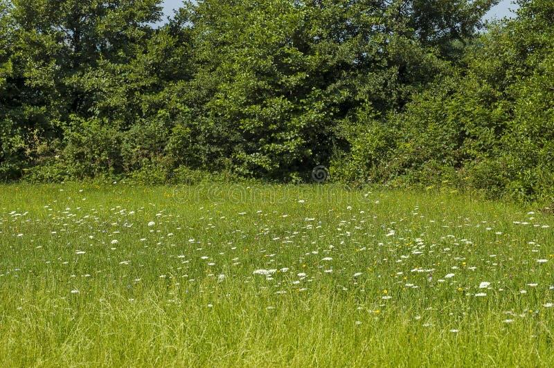 Schöne Landschaft der Sommernatur mit Lichtung, wohlriechendem Blüte Wildflower und Wald, zentraler Balkan-Berg, Stara Planina lizenzfreies stockbild