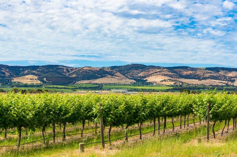 Schöne Landschaft des Weinbergs und des malerischen Himmels lizenzfreies stockfoto
