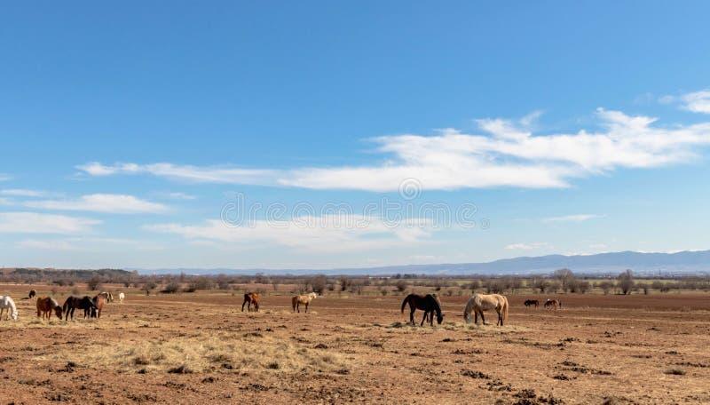 Schöne Landschaft, die Herde von vollblütigen Pferden auf dem braunen Heugebiet, blauer Himmel mit weißen Wolken, auf dem Hinterg lizenzfreie stockbilder