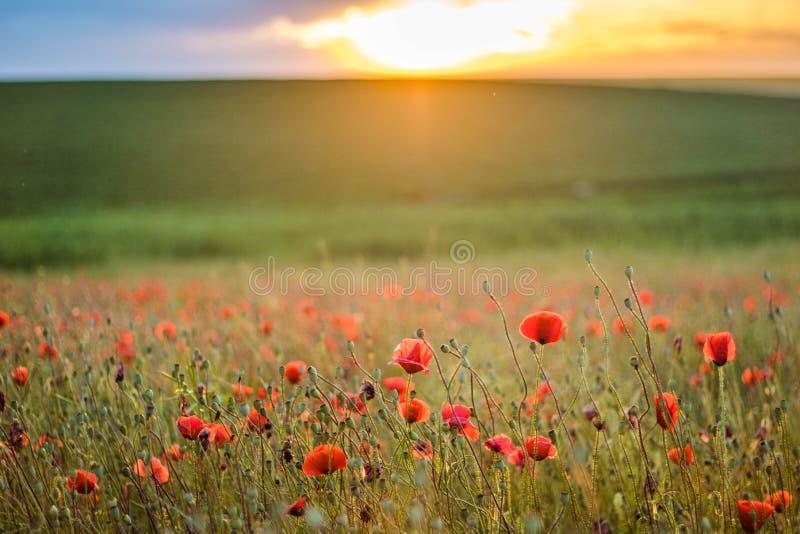 Schöne Landschaft mit Feld von roter Poppy Flowers At Sunset Wallpaper lizenzfreie stockfotos