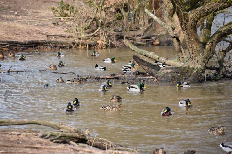 Schöne Landschaft mit vielen bunten Enten, die auf einem Fluss in Kassel, Deutschland schwimmen stockbild