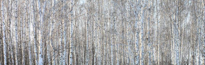 Schöne Landschaft mit weißen Birken lizenzfreies stockfoto