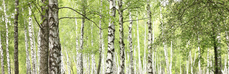 Schöne Landschaft mit weißen Birken stockbild