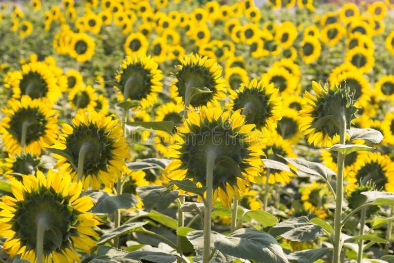 Schöne Landschaftssonnenblume im Garten mit Unschärfehintergrund, SU lizenzfreie stockfotografie