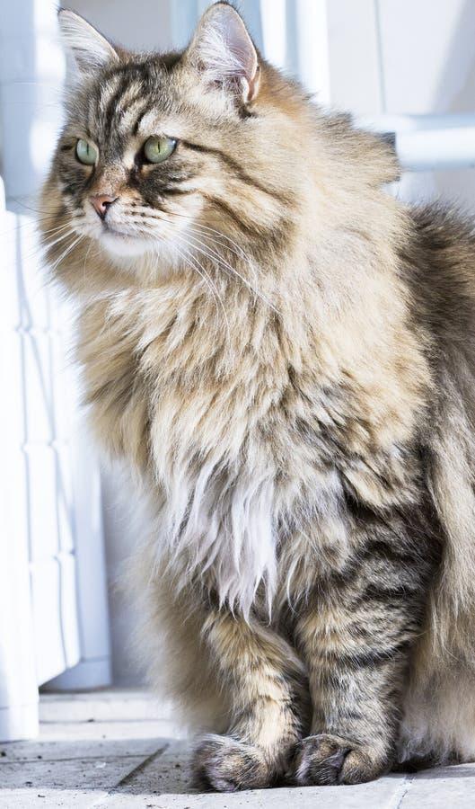 Schöne Langhaarkatze der sibirischen Zucht Entzückendes braunes Haustier des Viehbestandes, hypoallergenic Kätzchen lizenzfreies stockbild