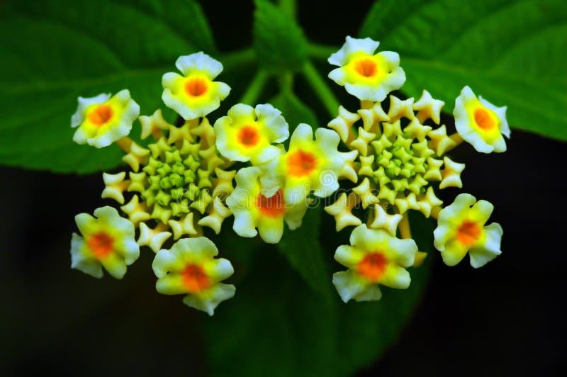 Schöne Lantana-Blumen lizenzfreies stockfoto