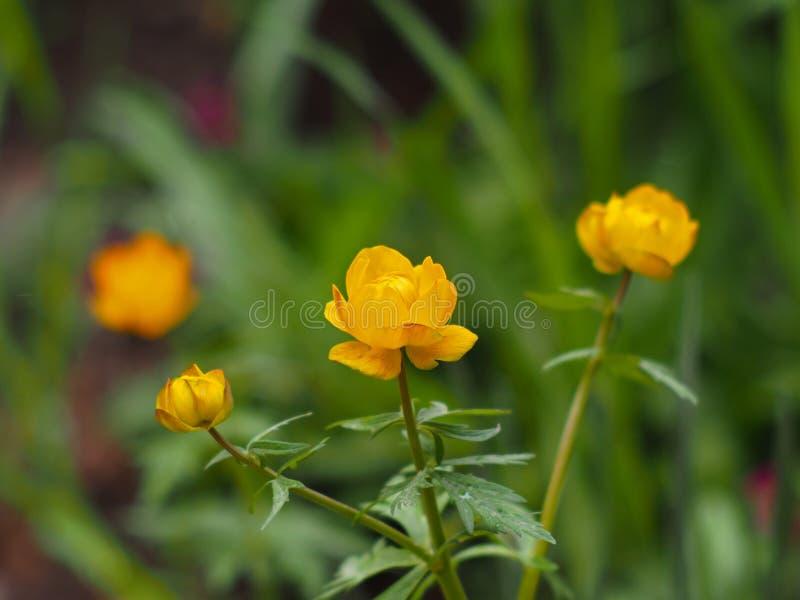Schöne Leuchtorangeblumen von Trollius asiaticus lizenzfreie stockbilder