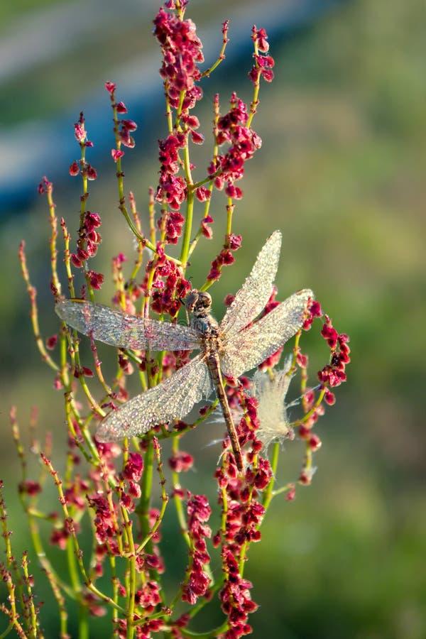 Schöne Libelle früh am Morgen bei Sonnenaufgang auf Sommerwiese Tautropfen auf Flügeln einer Libelle Tiere der wild lebenden Tier stockfoto