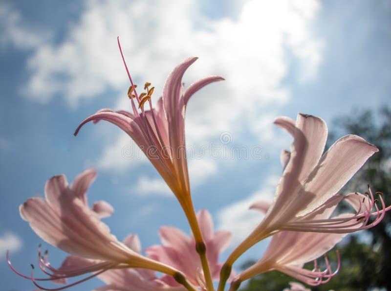 Schöne lila Lilie, die nach Himmel strebt lizenzfreies stockbild