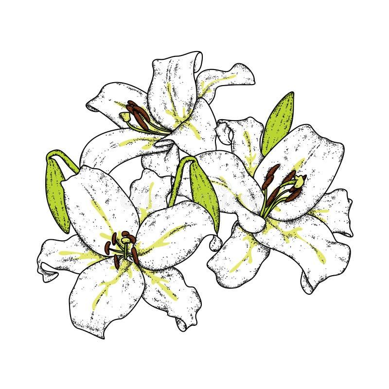 Schöne Lilien Auch im corel abgehobenen Betrag Empfindliche Blumen Weinlesedruck auf Postkarte, Plakat oder Kleidung vektor abbildung