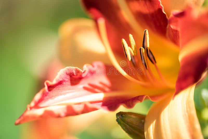 Schöne Lilien-, Gelbe und Orangeblume Nahaufnahme eines Staubgefässes mit dem Blütenstaub Makroschuß der gelben Taglilie mit flac lizenzfreies stockbild