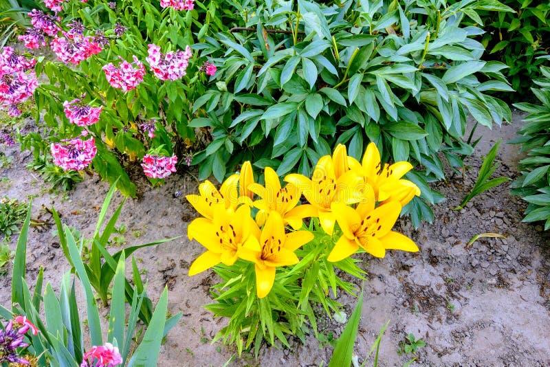Schöne Lilienblumen blühen im Garten, Naturhintergrund lizenzfreie stockbilder