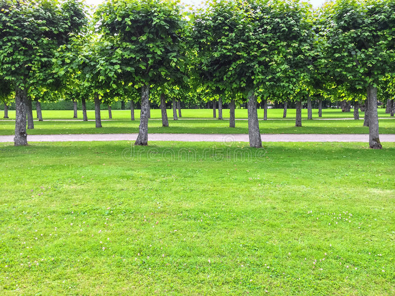 Schöne Lindenbäume im Sommerpark stockbilder