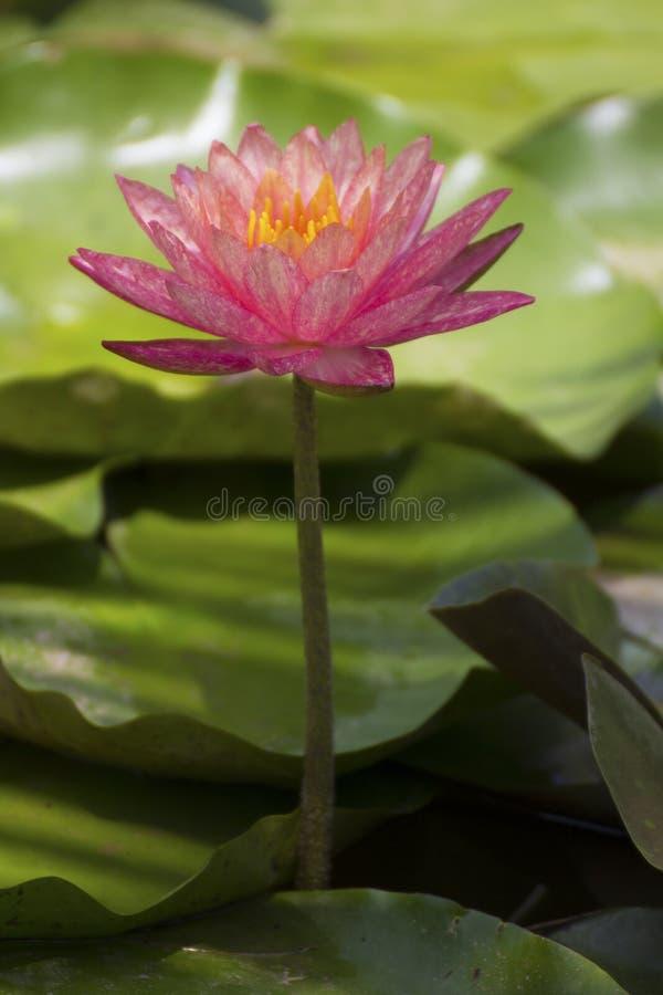 Schöne Lotosblume ist das Symbol des Buddhas, Thailand stockfotografie