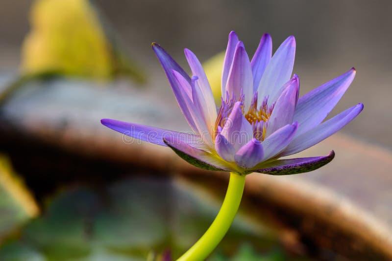 Schöne Lotus Flower mit Dunkelheits- und Unschärfehintergrund stockbild