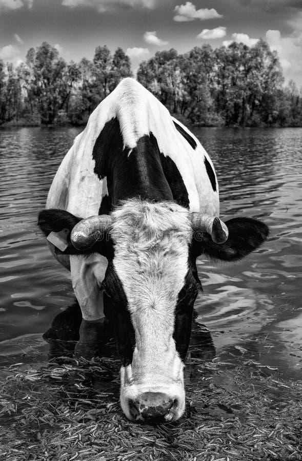 Schöne lustige Kuh auf einer Wasserentnahmestelle auf Bauernhof Das Porträt des Trinkwassers der Kuh auf Hintergrund blauen Himme lizenzfreies stockbild