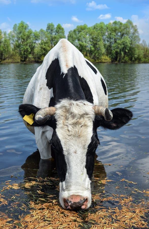Schöne lustige Kuh auf einer Wasserentnahmestelle auf Bauernhof Das Porträt des Trinkwassers der Kuh auf Hintergrund blauen Himme lizenzfreie stockbilder
