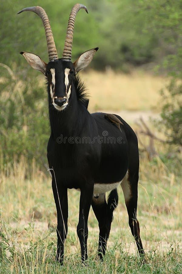 Schöne männliche Zobelantilope, Hippotragus Niger, Nationalpark Hwange, Simbabwe lizenzfreies stockbild
