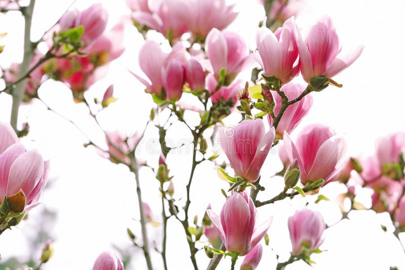 Schöne Magnolienblüten lizenzfreies stockfoto
