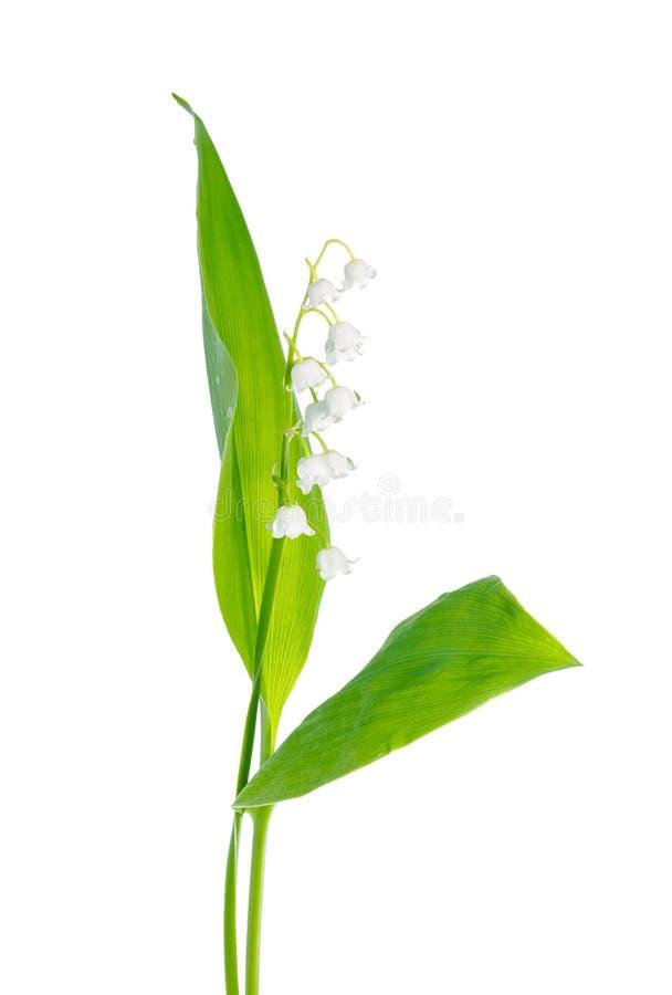 Schöne Maiglöckchenblume wird auf weißem backgro lokalisiert lizenzfreie stockfotos