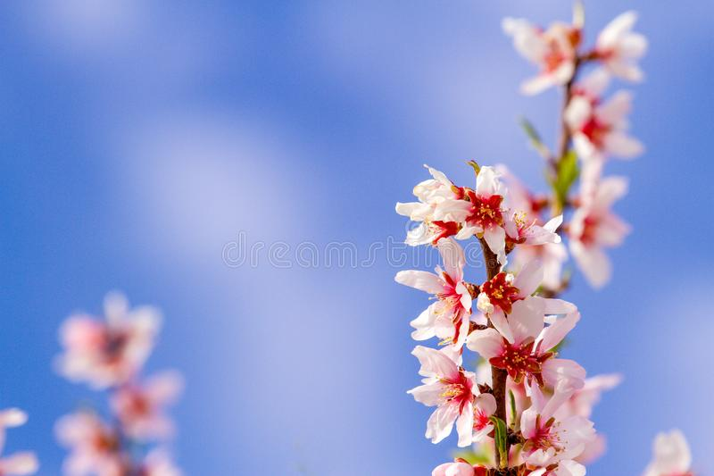 Schöne Mandel blüht auf dem almont Baumast mit Hintergrund des blauen Himmels stockfotografie