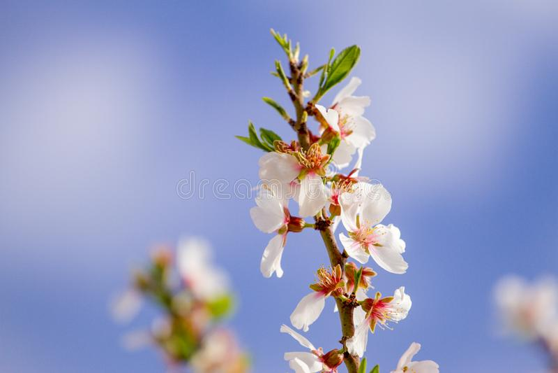Schöne Mandelblüten auf dem almont Baumast lizenzfreie stockfotos
