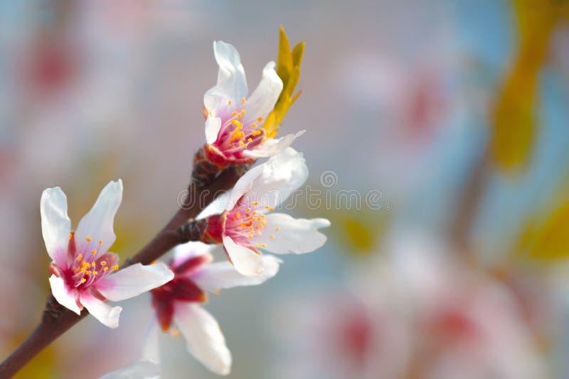 Schöne Mandelblüten auf dem almont Baumast stockbilder