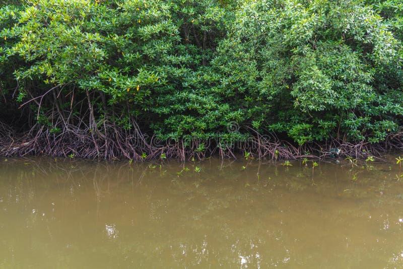 Schöne Mangrovenbäume auf dem Fluss stockbilder