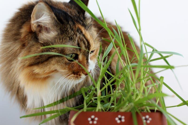 Schöne Mehrfarbenwolle der erwachsenen Katze Katze isst Gras lizenzfreie stockbilder