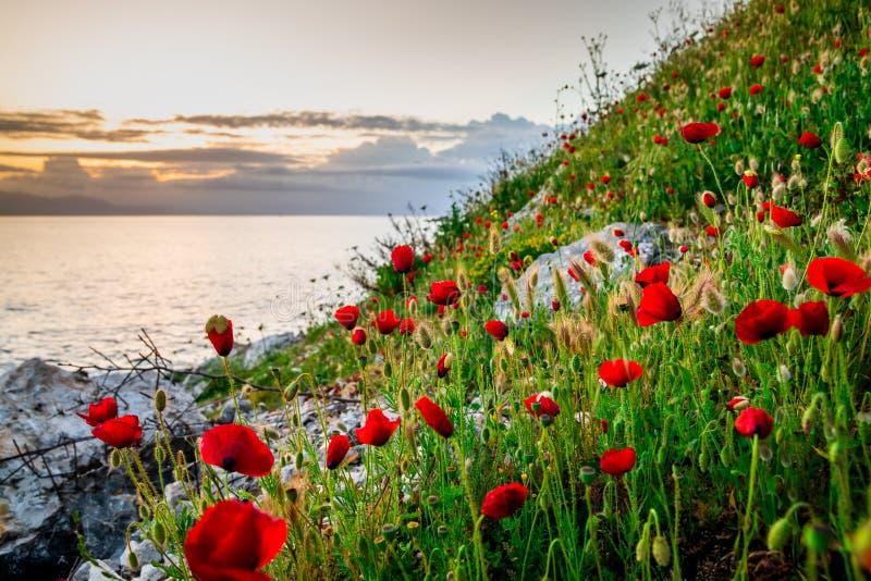Sch?ne Mohnblumen auf dem Strand am Sonnenunterganghintergrund stockfoto