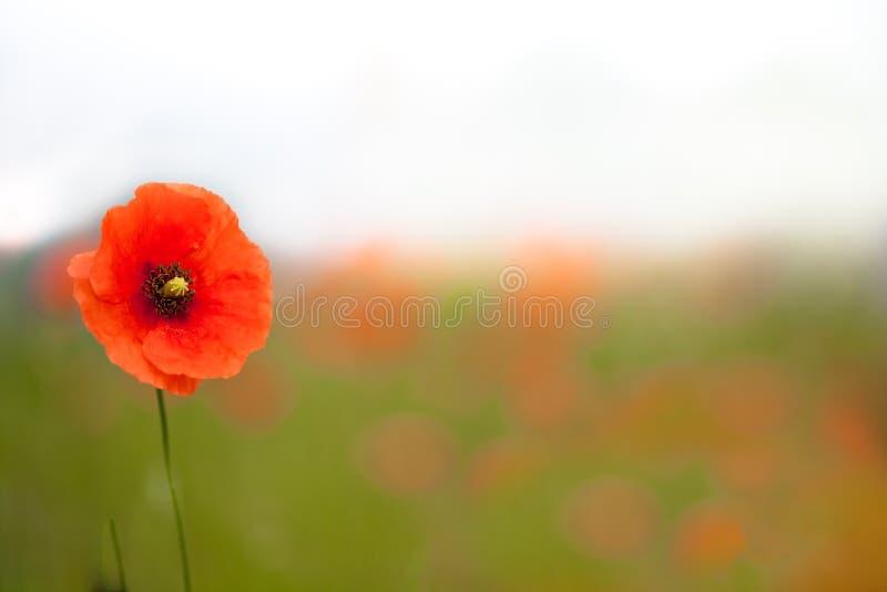 Schöne Mohnblumen auf einem Gebiet lizenzfreie stockfotos
