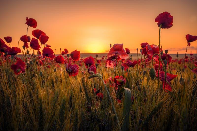 Schöne Mohnblumen auf einem Weizengebiet auf Sonnenaufgang stockbilder