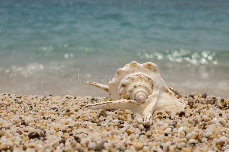 schöne Muschel auf dem kleinen Pebble Beach lizenzfreie stockfotografie